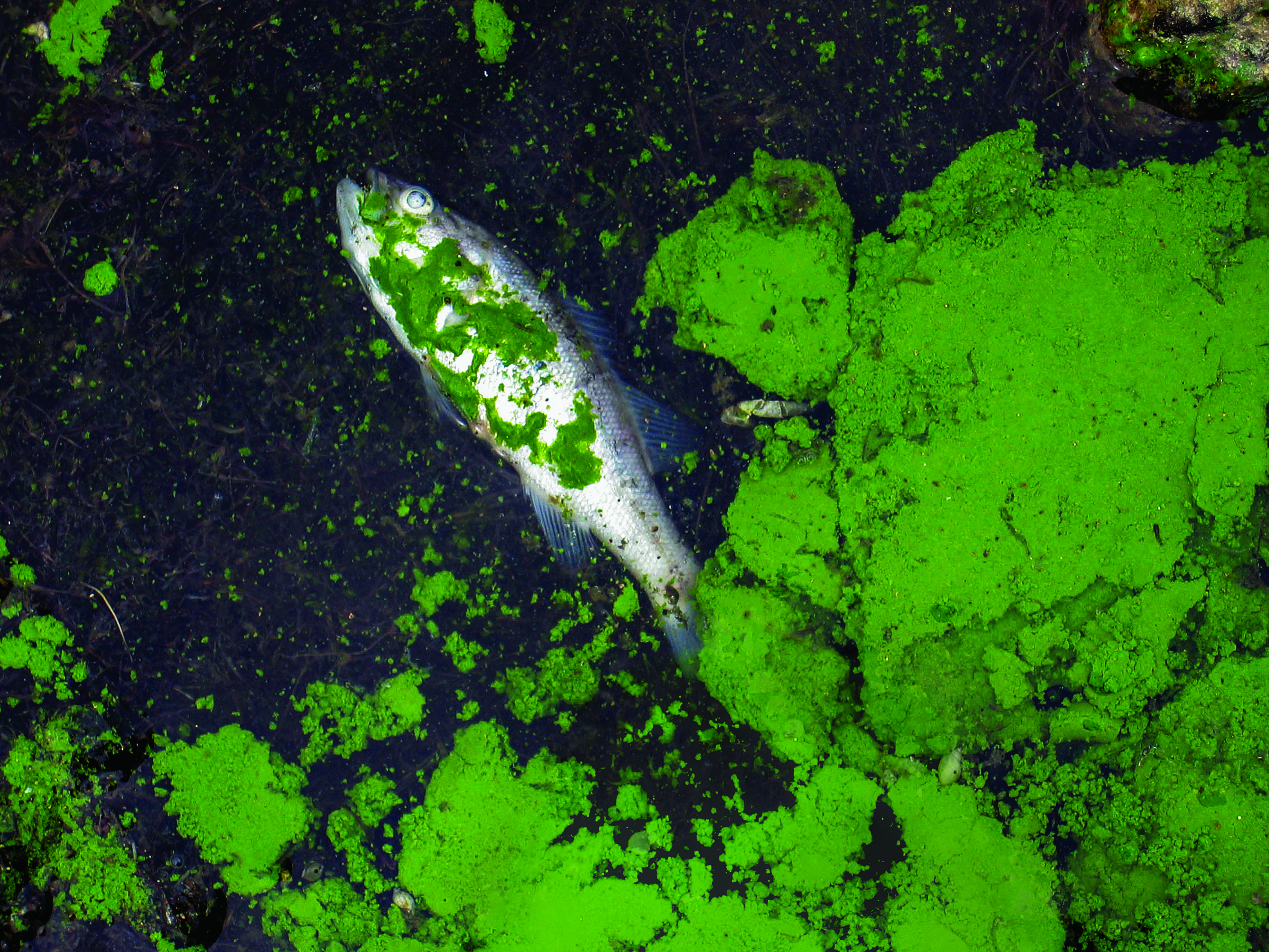 Cyanobacterial accumulation at Binder Lake, Iowa, dominated by the blue green algae Microcystis sp. with a dead fish.
