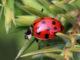 Harlequin_ladybird_(Harmonia_axyridis)_multispot_3