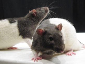ST rats